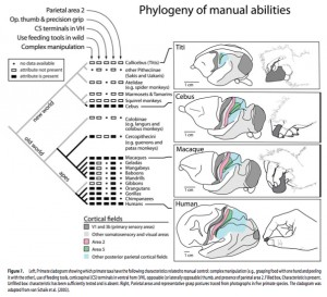 Anthropogenesis-PrimateManualControlPhylogeny