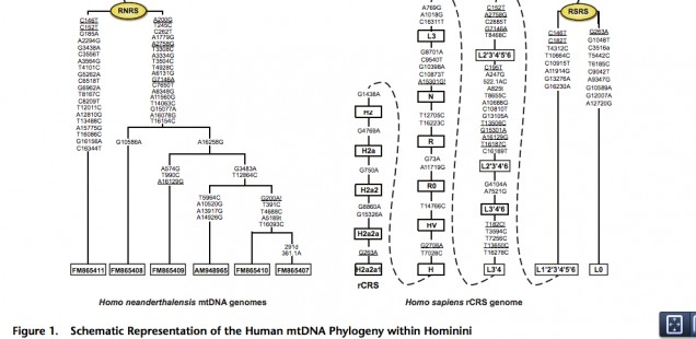 A Closer Look at Human and Neandertal Mitogenomes