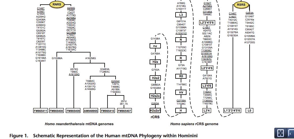 Anthropogenesis-BeharmtDNATree