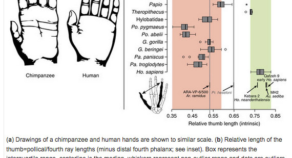 Human Hand Proportions Are More Primitive Than Chimp Hand Proportions